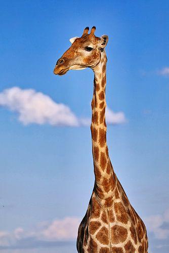 Die Giraffe, Namibia wildlife