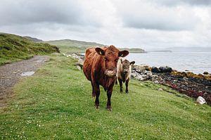 Koeien in Schotland van Katrin Friedl
