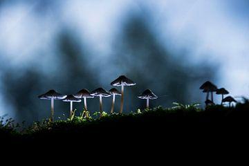 champignons du soleil levant sur Bart Harmsen
