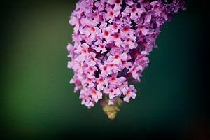 Pretty in pink van Voyant One