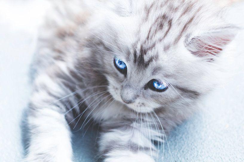 Engelsaugen – Maine-Coon-Katze von Kimberly de Pater
