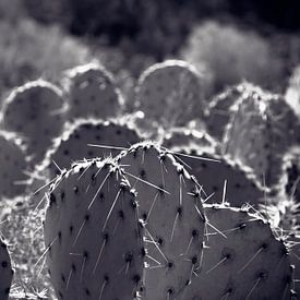 Cactus veld Noord Amerika van Giovanni della Primavera