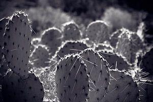 Champ de cactus Amérique du Nord
