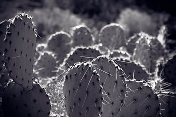Cactus veld Noord Amerika