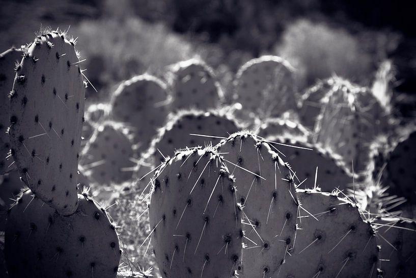 Champ de cactus Amérique du Nord sur Giovanni della Primavera
