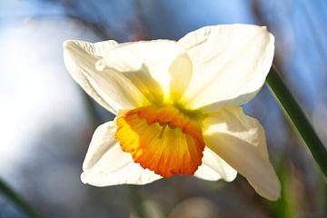 Wit met gele Narcis in de Kasteeltuin Geldrop van tiny brok