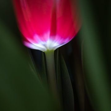 Rote Tulpe von Jefra Creations