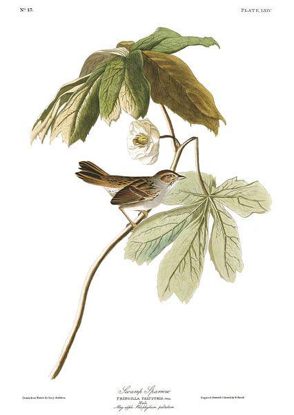 Moerasgors van Birds of America