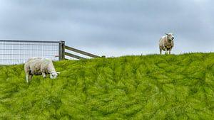 Schafe auf dem Deich | Terschelling