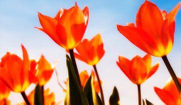 Tulpen auf dem Gebiet von Peter Bartelings Photography