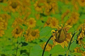 Sonnenblumen von Antwan Janssen