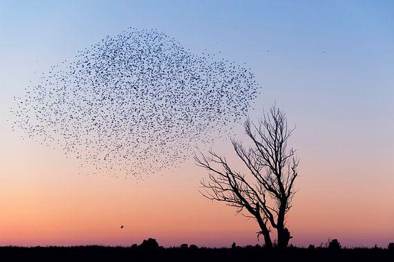 Spreeuwen verzamelen zich voor de nacht.  van Francis Dost