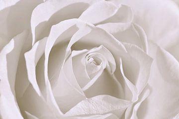 Witte Roos van Violetta Honkisz