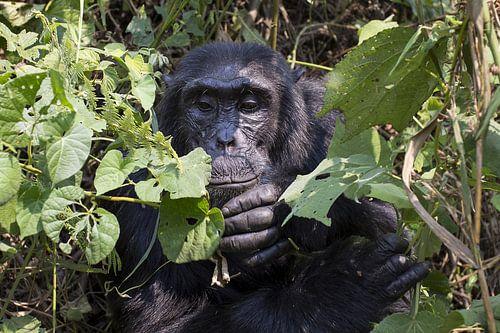 Chimpansee van Antwan Janssen