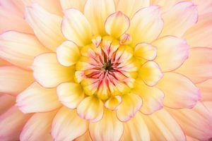 Mooie Dahlia, kleur geel en perzik