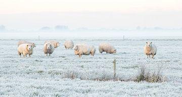 Schafe in einer niederländischen Winterlandschaft von Connie de Graaf