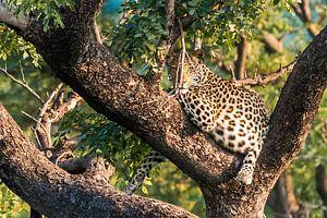 Luipaard bij zonsondergang