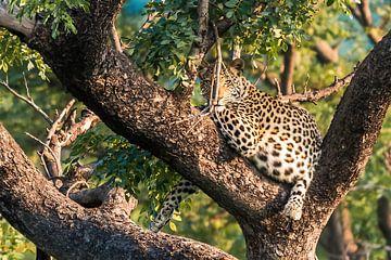 Leopard bei Sonnenuntergang von Trudy van der Werf