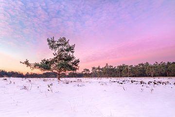 Besneeuwde Heide met een knallend kleurende zonsopkomst.