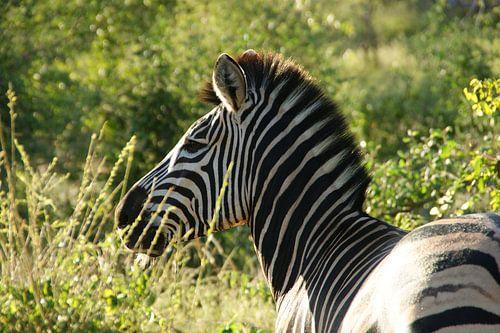 Zebra in het groter krugerpark van Zuid-Afrika