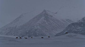 Rentierherde im Vatnajökull-Nationalpark von Timon Schneider