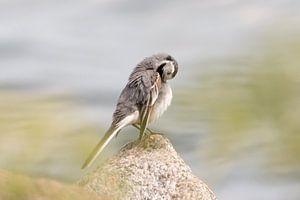 Waschen Vogel am Wasser | Vogelfotografie drucken Schweden