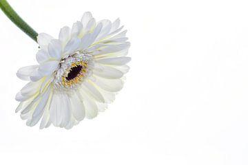 Gerbera mit weißem Hintergrund von Carola Schellekens