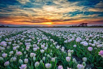 Tulp Angelique van eric van der eijk