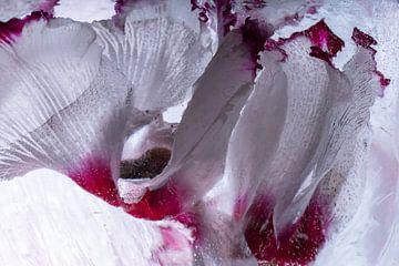 cyclamen in ijs 1 van Marc Heiligenstein