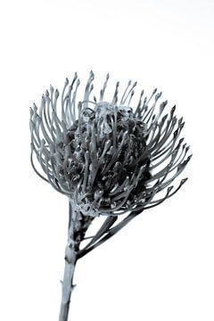 Nadelkissen / Leucospermum von Lynlabiephotography