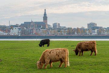 Grazende Schotse Hooglanders met Nijmegen en Stevenskerk op achtergrond