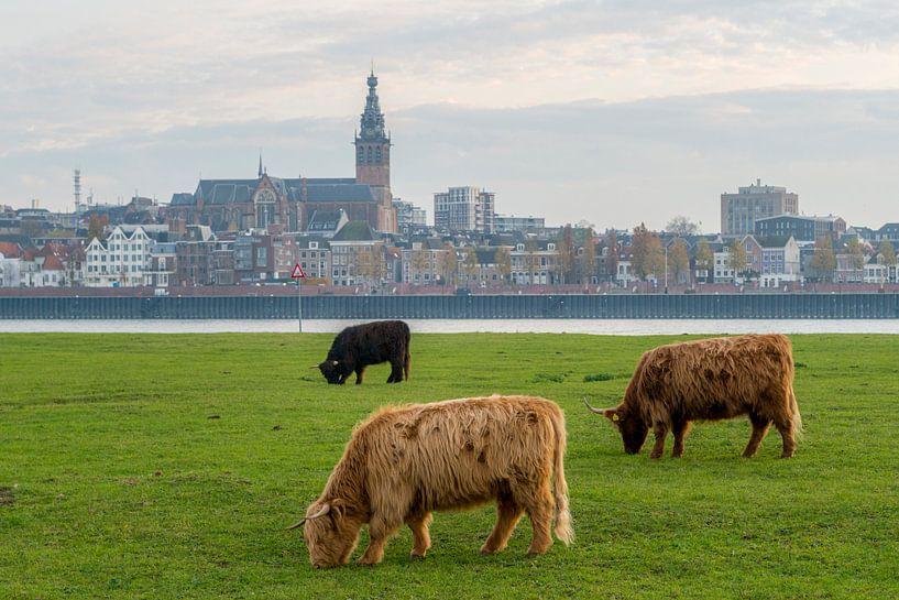 Grazende Schotse Hooglanders met Nijmegen en Stevenskerk op achtergrond van Maerten Prins