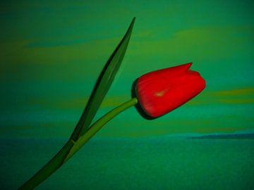 Tulpe van Peter Norden