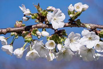 Weiße Blüte von Paula van den Akker