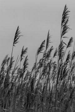 Verspieltes Schilfrohr. Kunstfotografie. Foto in Farbe. Erdtöne. von Quinten van Ooijen