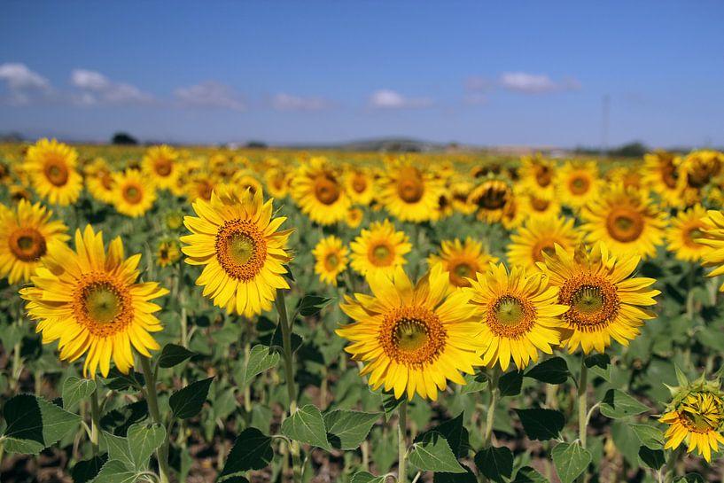 The Sunflowers van Cornelis (Cees) Cornelissen