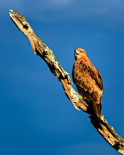 Roofvogel wildpark Zambia  van Ipo Reinhold