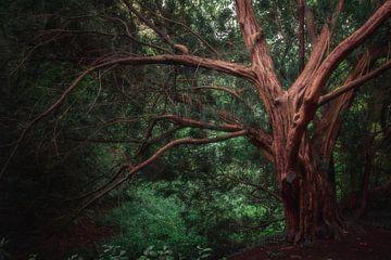 Oude boom van Kristoff De Turck