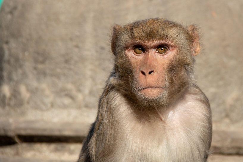 Makaak bij de Monkey Tempel in Kathmandu, Nepal van Joost van Riel