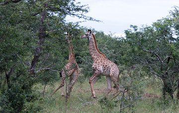 twee giraffen in natuurpark afrika van