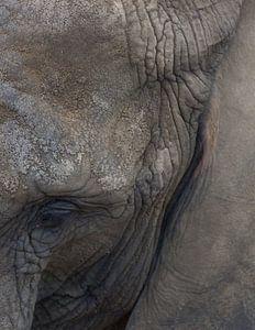 Elephant (savanna) von