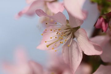 Bloesem in de lente  van