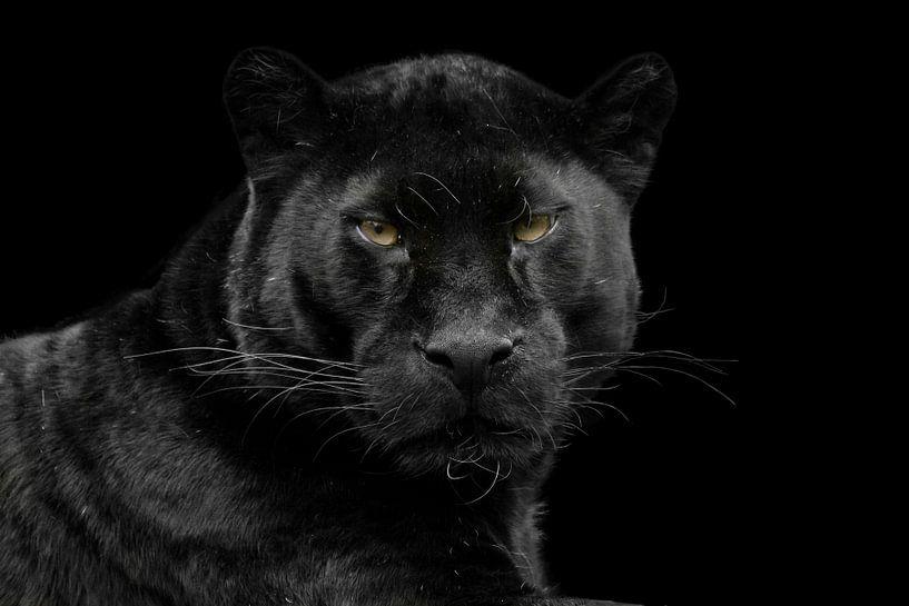 Zwarte panter van gea strucks