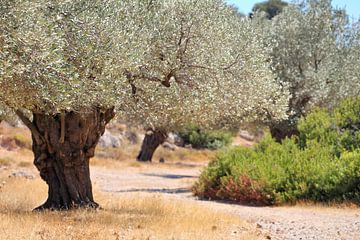 Olivenbäume von Jana Behr
