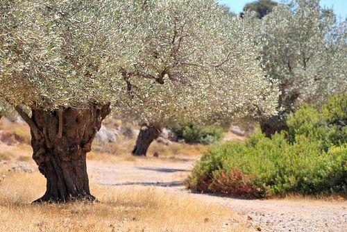 olijfbomen van Jana Behr