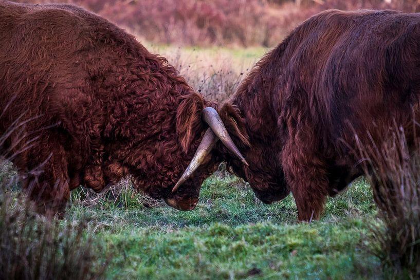Fighting bulls 2 van Meint Brookman