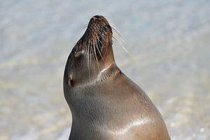 Galápagoszeeleeuw von