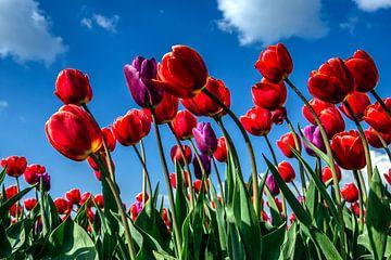 veld met rode tulpen van Fred van Bergeijk