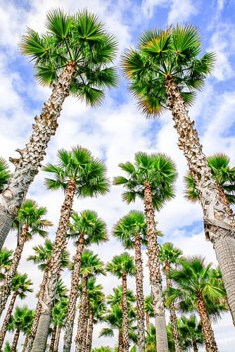 Groep hoge rechte palmbomen met blauwe lucht en wolken