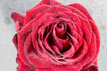 Rose fraîche recouverte de gouttes d'eau sur Devin Meijer